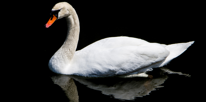 White Swan Positive Impact